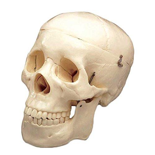 Budget Life-Size Skull