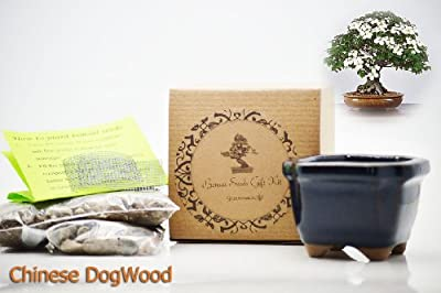 Set of 2 Chinese DogWood Bonsai Seed Kit- Gift - Complete Kit