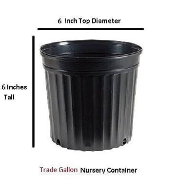 Yuletide Red Camellia Sasanqua - Live Plant- Trade Gallon Pot : Garden & Outdoor