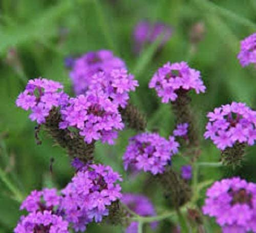 Verbena rigida Purple Flowers All Summer Bees and Butterflies Ideal Front of Garden Border 9cm Pot