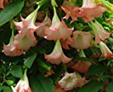 Colorful Fragrant Mix Angel Trumpet Brugmansia Rooted Fragrant Flowering Plant