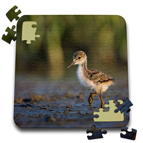 3dRose Danita Delimont - Birds - Black-Necked Stilt Chick forages on a Lakeshore in Eastern Washington. - 10x10 Inch Puzzle (pzl_315140_2)