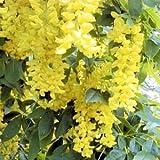10 GOLDEN CHAINTREE / GOLDEN CHAIN TREE Laburnum Anagyroides Seeds