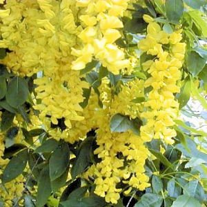 - 10 GOLDEN CHAINTREE / GOLDEN CHAIN TREE Laburnum Anagyroides Seeds