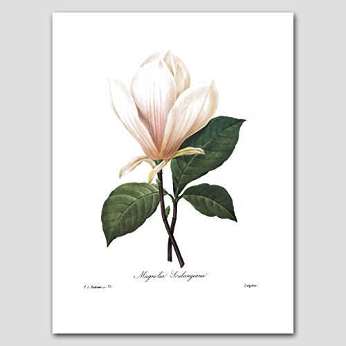 Magnolia Art (Southern Home Decor, White Botanical Print) Redoute Flower Artwork -- Unframed
