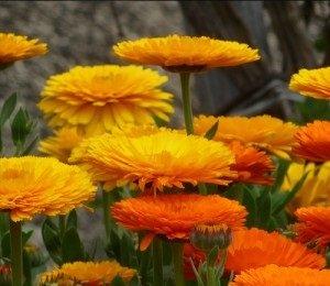 Non GMO Bulk Calendula Seeds- Fancy Mix Calendula officinali