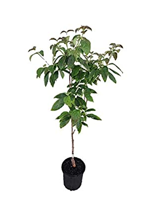 Cherokee Chief Dogwood - Heavy Rooted - Flowering - 1 Gallon Potted Plant by Growers Solution