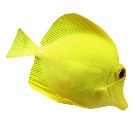 HWJ01095 Yellow Tang 72 Inch Vinyl Wall Graphic Decal Sticker Animal - Yellow Tang Animals
