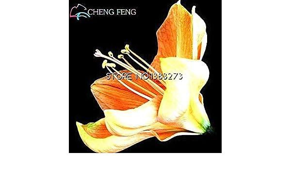 Vistaric 100 unids Rainbow Hippeastrum Semillas Semillas de Flores Hermosas La tasa de florecimiento 95% de Plantas de Jardãn para Regalo de los Niã±Os: ...