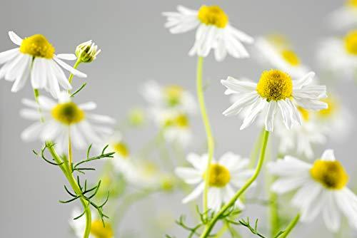 (Chamomile, German- Herb Seeds)
