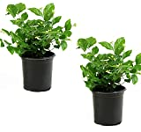 Cottage Hill Arabian Sambac Jasmine - 2 Piece Live Plant, White Blooms