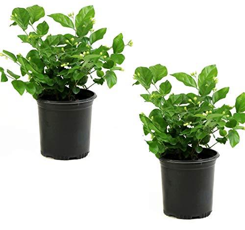 Cottage Hill Arabian Sambac Jasmine - 2 Piece Live Plant White ()