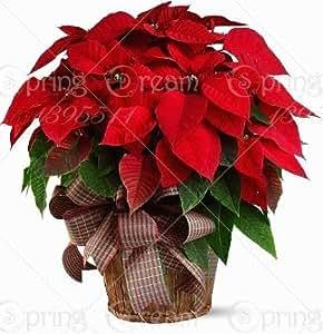 Hot Sale! 100 pcs Poinsettia Seeds, Euphorbia Pulcherrima,potted Plants, rare Flowering Plants seeds for hjome decoration