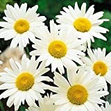 Shasta Daisy Alaska Nice Garden Flower BULK 25,000 Seeds