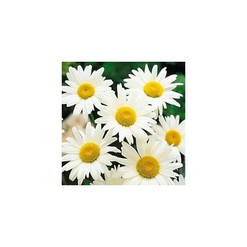 Shasta Daisy Alaska Nice Garden Flower by Seed Kingdom 1,000 Seeds