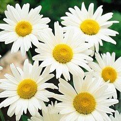 Shasta Daisy Alaska 25,000 Seeds