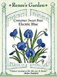 Container Electric Blue Sweet Peas Seeds