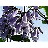 Chinesischer Blauglockenbaum - Paulownia tomentosa - Samen