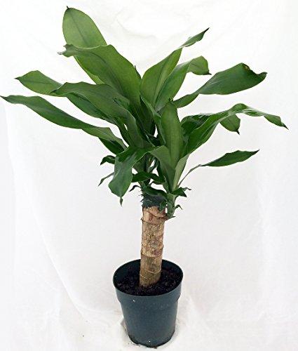 House Plants Dracaena - 8