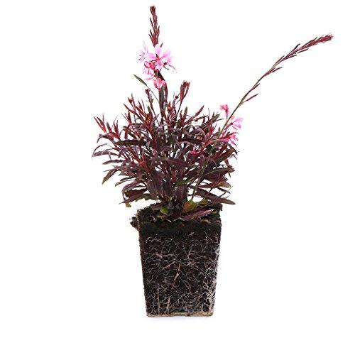 Plants by Post Quart Gaura Passionate Blush Plant, 4