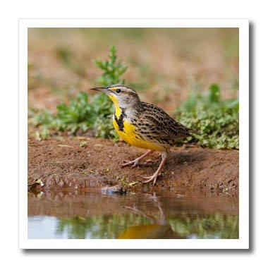 3dRose Danita Delimont - Songbirds - Eastern Meadowlark, Sturnella magna, drinking - 10x10 Iron on Heat Transfer for White Material (ht_279464_3) - Meadowlark Three Light