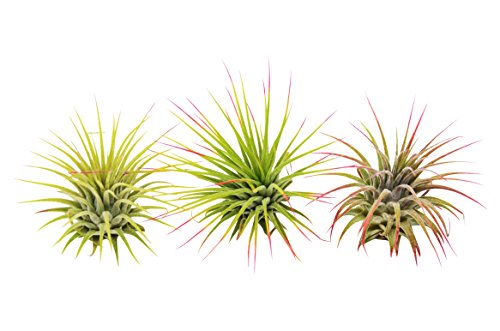 3 Ionantha Guatemala Air Plants/FREE Care Guide/Blooming Air Plant