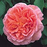 David Austin English Roses Abraham Darby