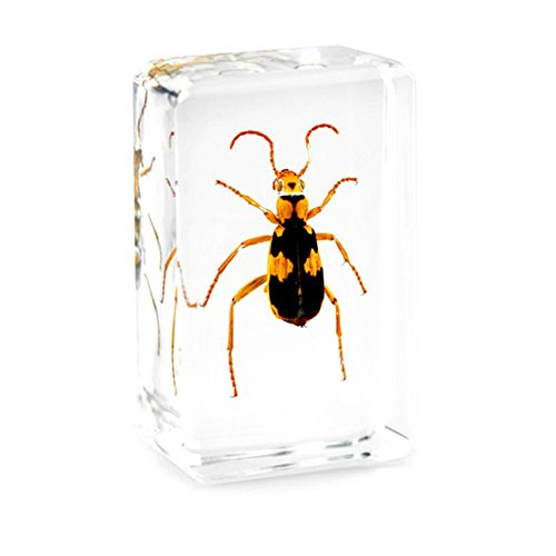 QTMY Biology Science World Collection of Real Insect Specimen Paperweight (China Tiger Beetle) -