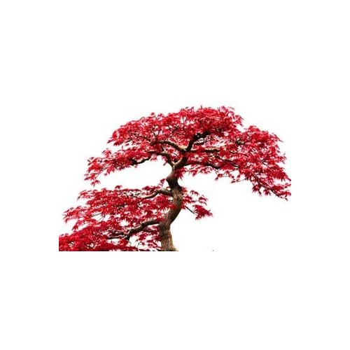 #5 Collection 10+ Varieities Japanese Maple/Tree/Plant Acer Seeds (100+) Excellent for Japanese Bonsai Full to Part Sun