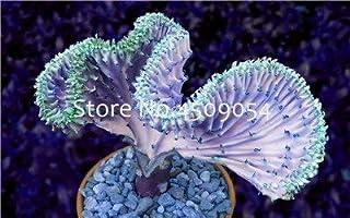 Pinkdose Euphorbia Lactea bonsai 100Pc Perenne succulenta La sua forma è particolare e bella con un alto valore ornamentale Giardino domestico fai da te: 6