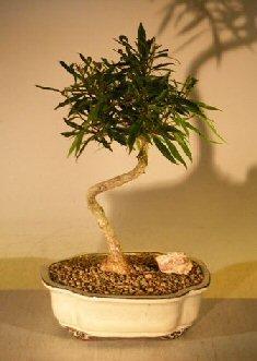 Bonsai Boy's Willow Leaf Ficus Bonsai Tree - Medium Coiled Trunk Style ficus nerifolia salicafolia (Willow Tree Ficus)