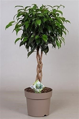 Ficus Benji - Plaited stem indoor tree - Ideal gift plant - Excellent size as a feature plant for hallways, living rooms and offices. Best4Garden