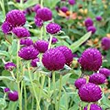 Outsidepride Purple Gomphrena Globosa Plant Flower Seed - 1000 Seeds