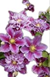 Piilu Clematis> Clematis 'Piilu'> Landscape Ready 1 Gallon Container