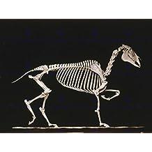VINTAGE PHOTO SKELETON HORSE TROT MUYBRIDGE NEW FINE ART PRINT POSTER CC5407