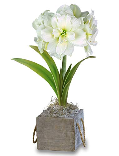 Amaryllis Snow Drift in a Reclaimed Wood Square - Pre-Planted Amaryllis Growing Kit Gift