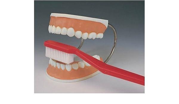 Modelos anatómicos - dientes dental modelo de atención con cepillo de dientes: Amazon.es: Salud y cuidado personal