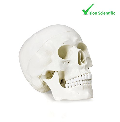 Vision Scientific VAL207-A Life-Size Human Skull - 3 Parts | Medical Grade, Features Joints, Sutures, Fissures, Joints, Foramina and Processes | Removable Skull Cap, Full Dentition