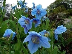 Meconopsis betonicifolia azul del Himalaya Poppy perenne semillas.