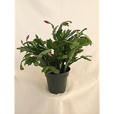 Two Red Christmas Cactus Plant - Zygocactus - 4