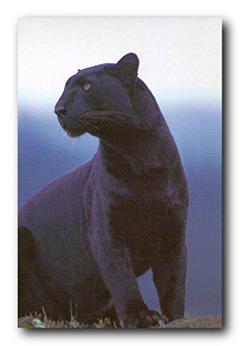 Black Panther Big Cat - Black Panther Wildlife Big Cat Wall Decor Art Print Poster (24x36)