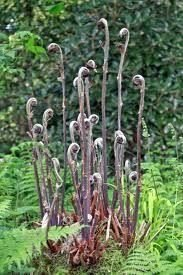 Osmunda regalis 'Purpurescens' fern plant in 13cm pot. Royal Fern Perfect Plants
