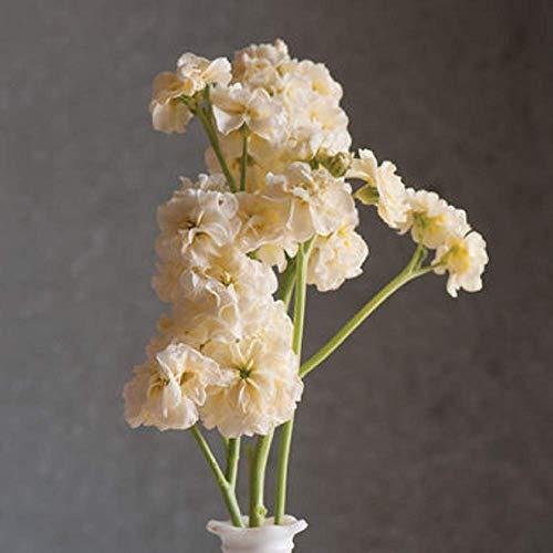 - David's Garden Seeds Flower Stock Quartet Yellow YT7486 (Buttercream) 50 Non-GMO, Open Pollinated Seeds