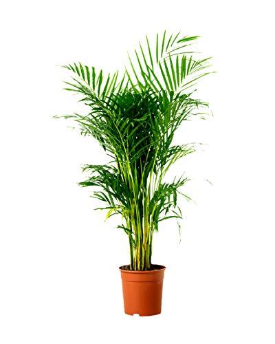 Plantsguru Areca Palm Live Indoor Air Purify House Plant with Pot