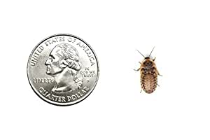 Small Dubia roach Live feeder roaches 50(ct)