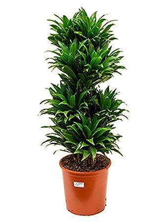 Drachenbaum Compacta 80-95 cm im 27 cm Topf pflegeleichte ...
