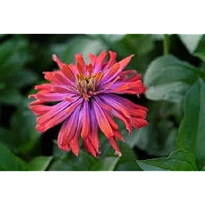 50+ Zinnia Whirligig Mix Flower Seeds Long Blooming Annual : Garden & Outdoor