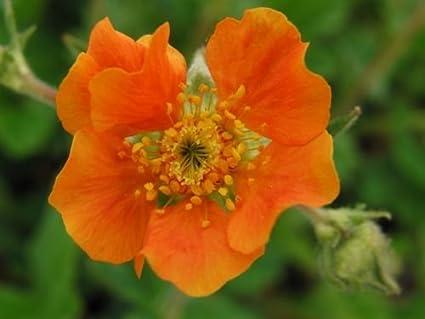Amazon 50 extra large tangerine orange geum flower seeds 50 extra large tangerine orange geum flower seeds perennial mightylinksfo
