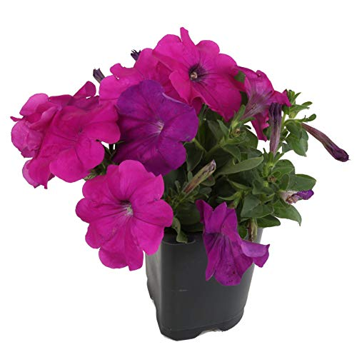 Costa Farms Petunia Live Outdoor Plant 1 PT Grower's Pot, 12-Pack, Purple by Costa Farms (Image #1)