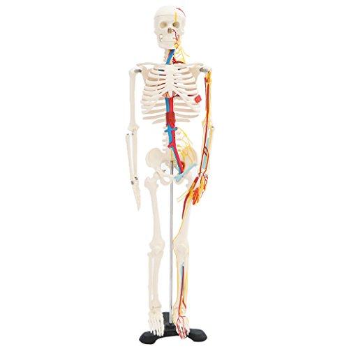 Perfk 人間骨格モデル 人体心臓と血管 ディスプレイ ベース付き 医学研究 学習用 ラボ用品 の商品画像